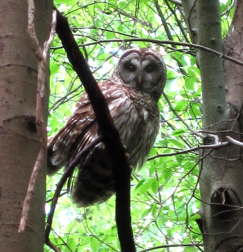 Barred owl, Sunrise Carriage Trail, Charleston, WV.